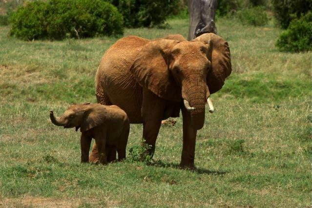 Pomarańczowe Słonie wKenii