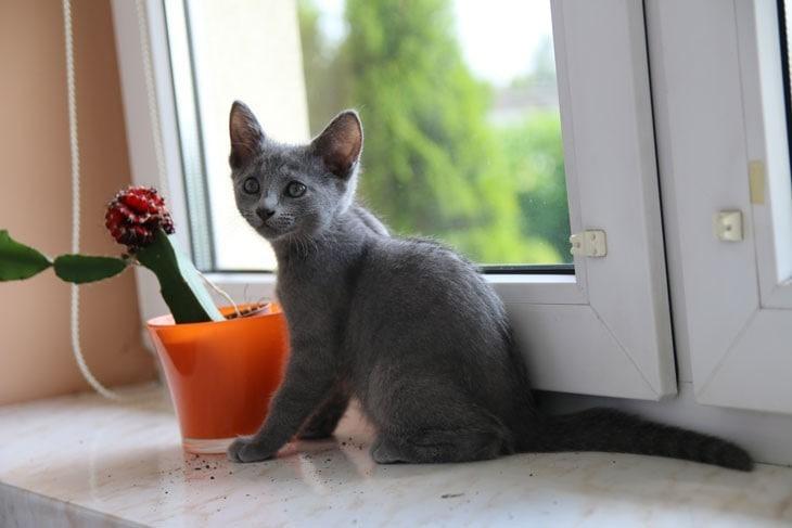 rosyjski niebieski kotka