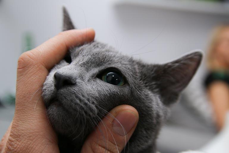oko kota rosyjskiego