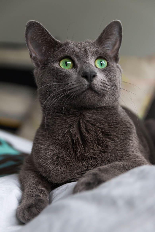 figa kot rosyjski niebieski